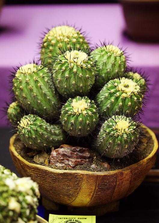 Name:  Copiapoa cinerea, Best Chilean, Alex A.jpg Views: 3492 Size:  75.7 KB
