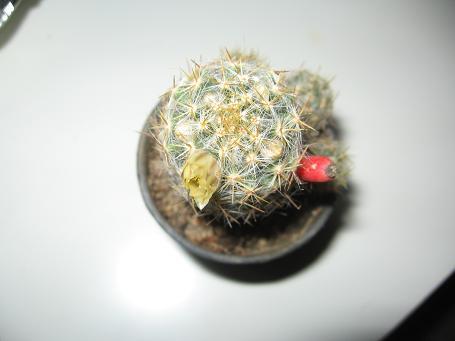 Name:  kaktüs çiçek.JPG Views: 2859 Size:  20.7 KB