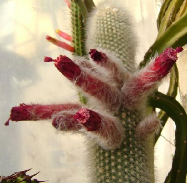 Name:  Cleistocactus straussii1 (600 x 587).jpg Views: 158046 Size:  41.3 KB