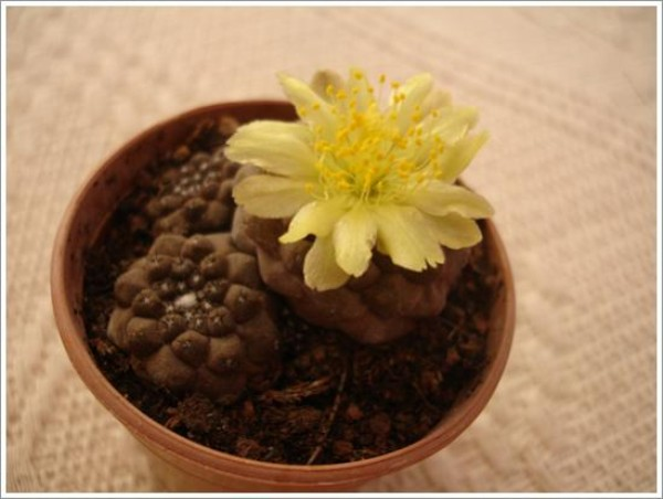 Name:  copiapoa (600 x 452).jpg