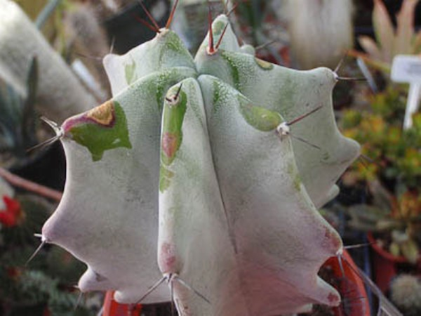 Name:  lemairocereus-pruinosus (600 x 450).jpg Views: 63942 Size:  52.9 KB