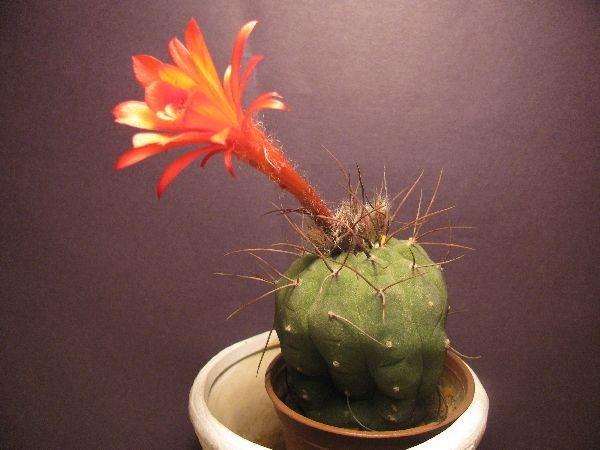 Name:  matucana (600 x 450).jpg