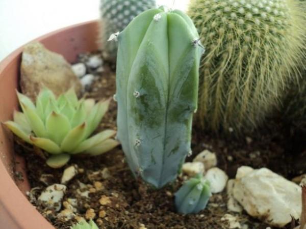 Name:  Myrtillocactus (600 x 450).jpg Views: 139192 Size:  61.8 KB