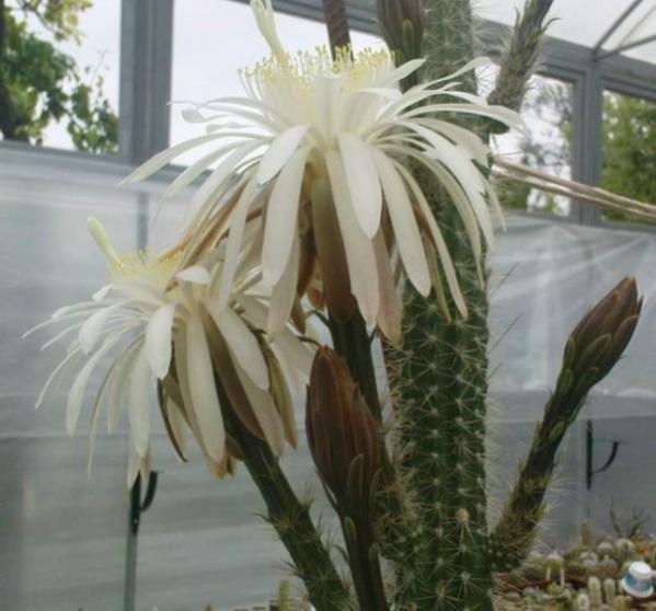 Name:  Nyctocereus_serpentinus_flower-Klimanov (600 x 559).jpg