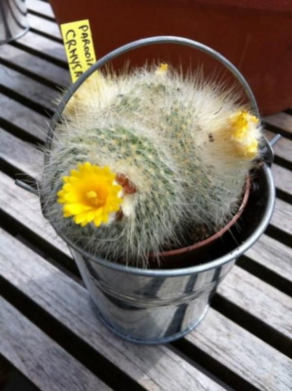 Name:  parodia (600 x 802).jpg