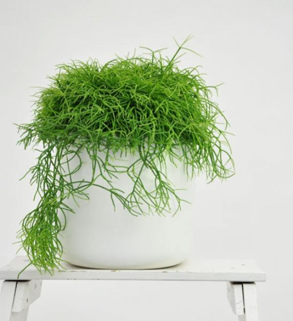 Name:  rhipsalis_rhipsalis-cassutha.1 (600 x 657).jpg