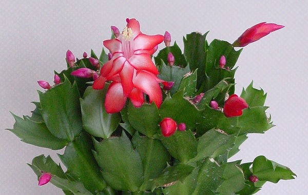 Name:  schlumbergera turuncata (600 x 380).jpg