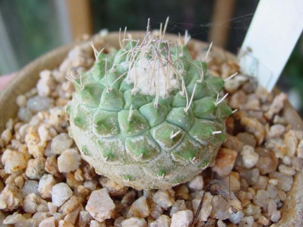 Name:  strombocactus (600 x 450).jpg Views: 135681 Size:  43.0 KB