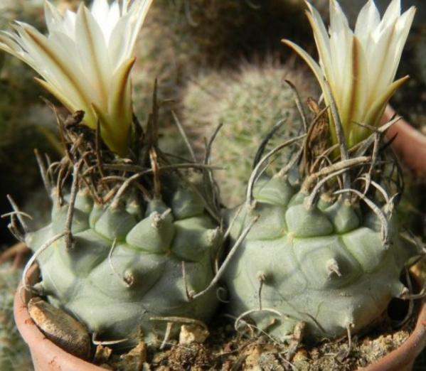 Name:  Turbinicarpus klinkerianus2 (600 x 523).jpg Views: 135439 Size:  49.1 KB