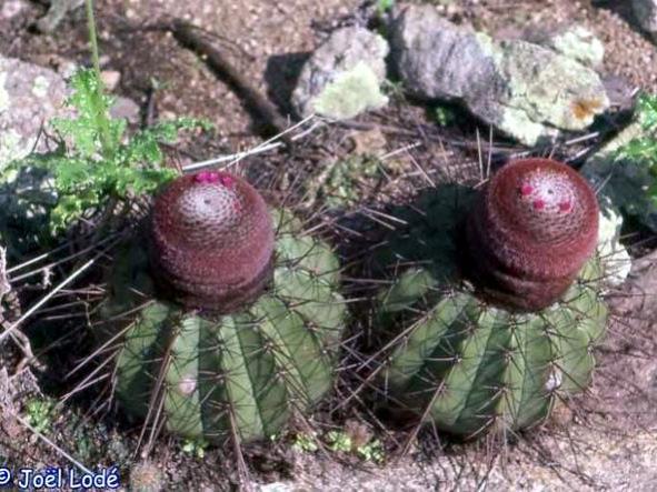 Name:  Melocactus oreas.jpg Views: 6506 Size:  60.9 KB