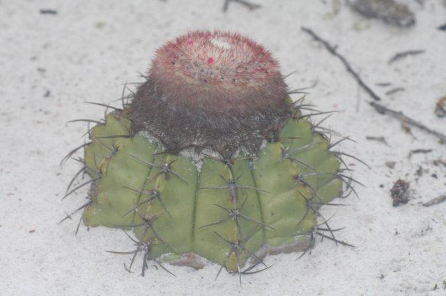 Name:  Melocactus paucispinus.jpg Views: 5458 Size:  40.0 KB