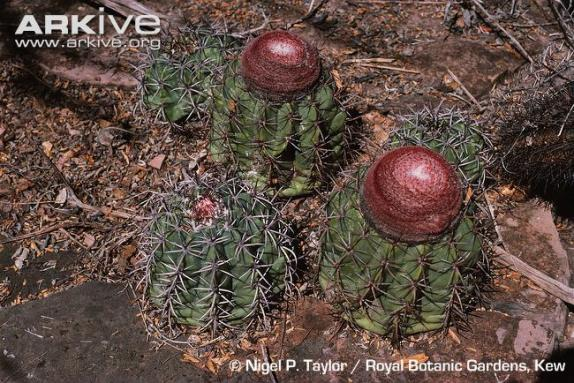 Name:  Melocactus pachyacanthus.jpg