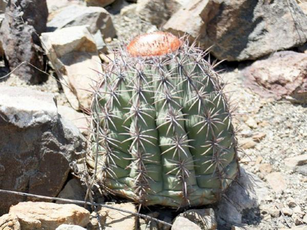 Name:  Melocactus peruvianus.jpg Views: 5408 Size:  63.0 KB