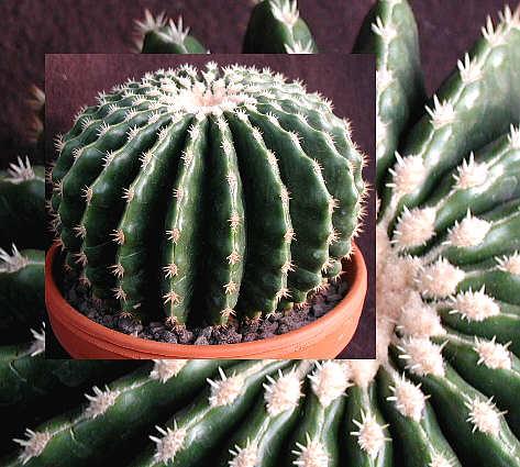 Name:  Echinocactus grusonii kurzdornig.jpg Views: 7620 Size:  44.3 KB
