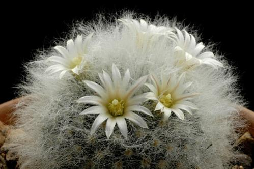 Name:  Mammillaria albicoma.jpg