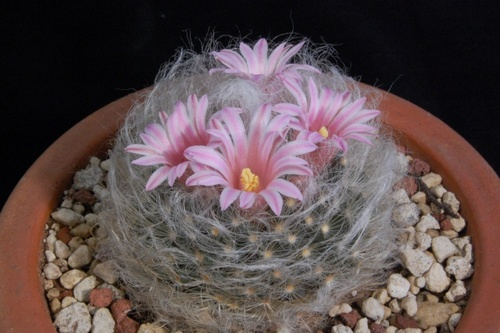 Name:  Mammillaria aureilanata.jpg