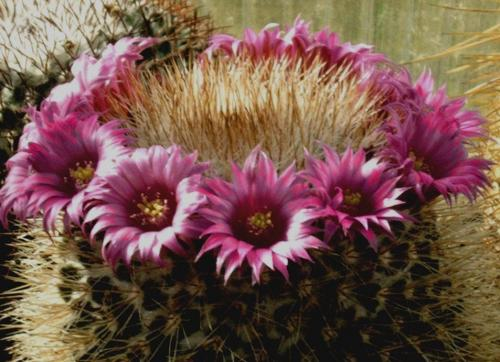 Name:  mammillaria bella.jpg