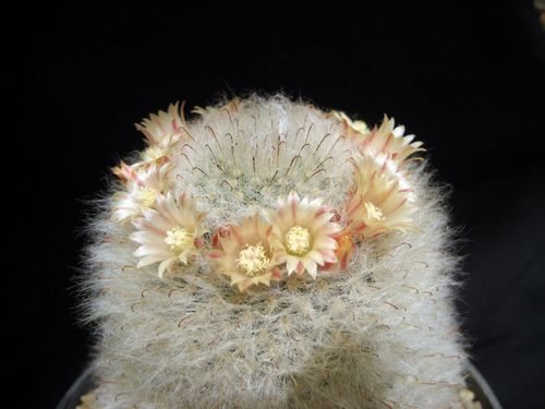 Name:  mammillaria bocasana.jpg