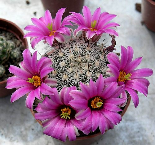 Name:  mammillaria boolii.jpg