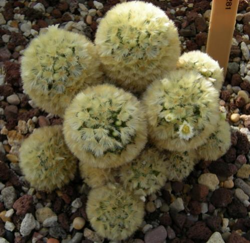 Name:  mammillaria carmenae.jpg