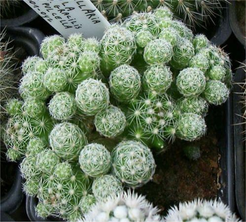 Name:  mammillaria gracilis.jpg