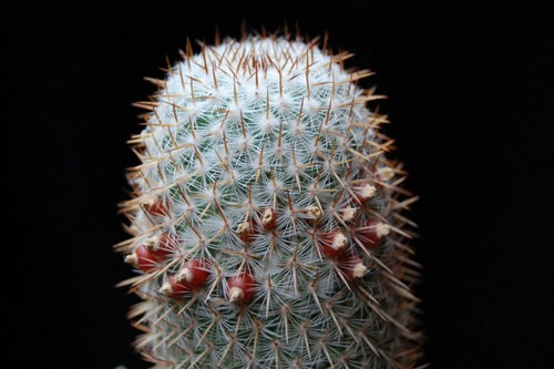 Name:  mammillaria graessneriana.jpg
