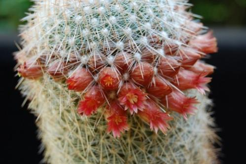 Name:  mammillaria guerreronis.jpg