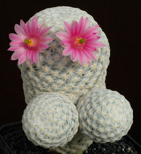 Name:  mammillaria herrerae.jpg