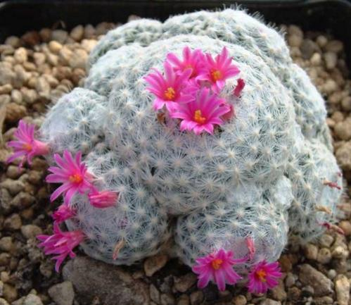 Name:  mammillaria humboldtii.jpg