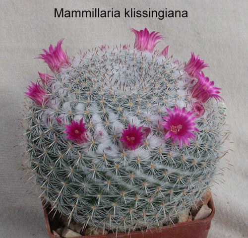 Name:  mammillaria klissingiana.jpg