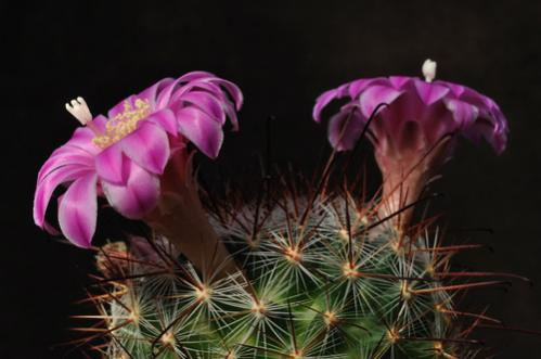 Name:  mammillaria longiflora.jpg