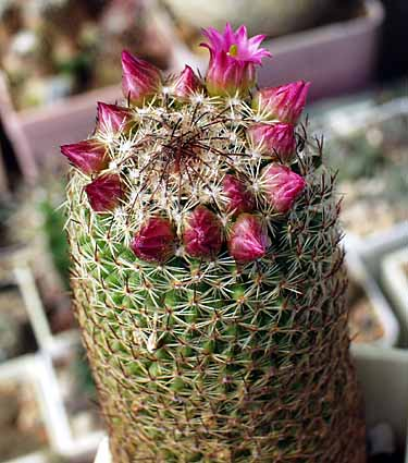 Name:  Mammillaria matudae.jpg