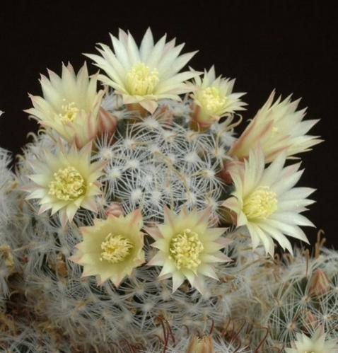 Name:  mammillaria nana.jpg