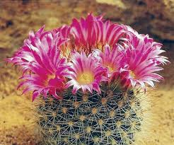 Name:  mammillaria neocoronaria.jpg