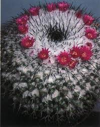 Name:  mammillaria orcuttii.jpg