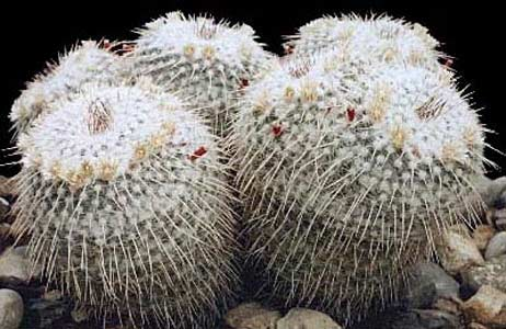 Name:  mammillaria parkinsonii.jpg