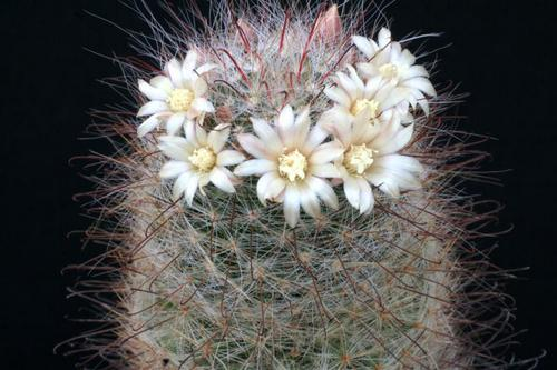 Name:  mammillaria seideliana.jpg