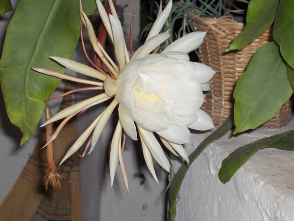 Name:  cereus4.jpg