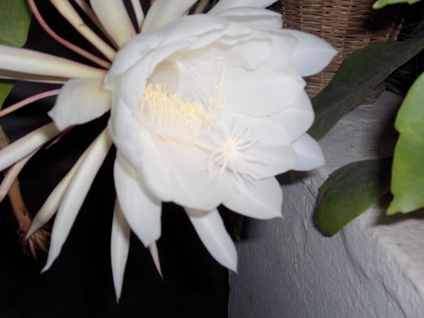 Name:  cereus5.jpg