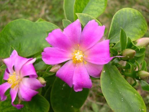 Name:  Pereskia grandifolia.jpg Views: 33685 Size:  55.4 KB