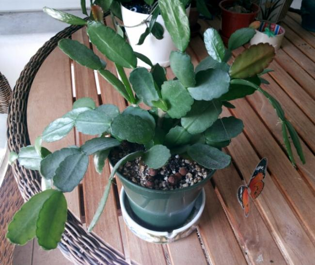 Name:  Rhipsalidopsis 2016.jpg Views: 1215 Size:  57.7 KB