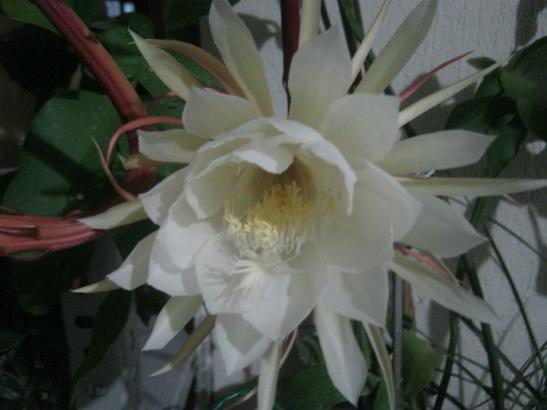 Name:  night blooming cereus.jpg