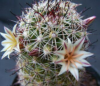 Name:  Mammillaria dioica_349x300.jpg Views: 13 Size:  43.3 KB