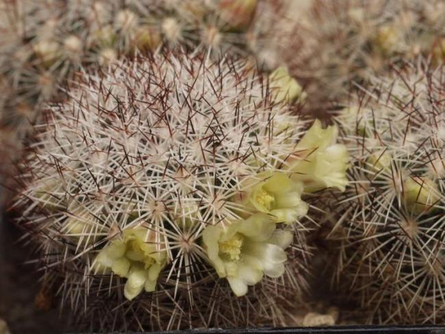 Name:  Mammillaria densispina.jpg