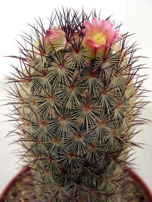 Name:  Mammillaria microhelia.jpg