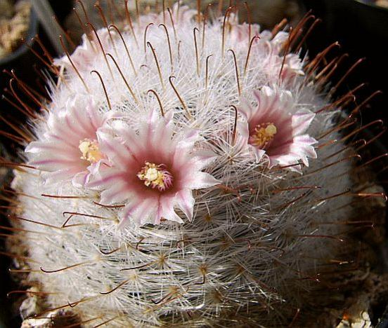 Name:  Mammillaria gasseriana.jpg
