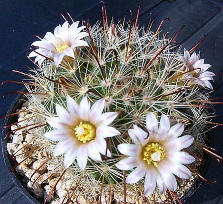 Name:  Mammillaria jaliscana ssp zacatecasensis.jpg
