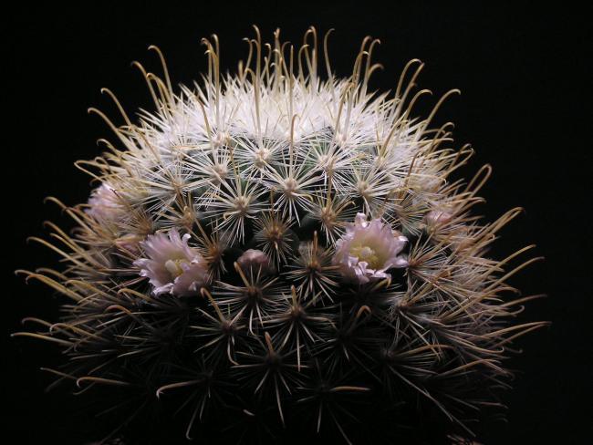 Name:  Mammillaria moelleriana (syn. M. cowperae).jpg Views: 27 Size:  51.2 KB