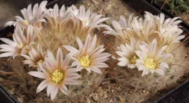 Name:  Mammillaria pennispinosa.jpg