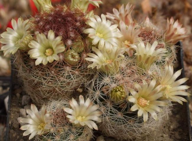 Name:  Mammillaria rettigiana.jpg